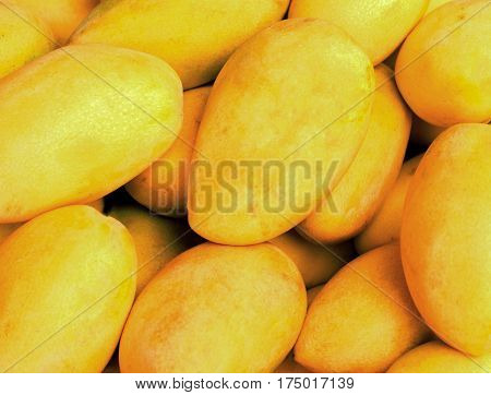 Bunch of yellow mango on shop's display. Bright yellow tropical fruit. Sweet mango with thin skin. Fresh ripe fruit of exotic island. Mexican dessert - raw mango. Yellow banner background from tropics