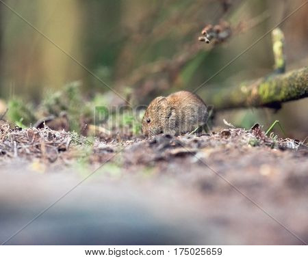 Bank Vole (mouse) Foraging On Forest Ground.