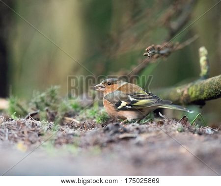 Common Chaffinch With Seed In Beak Sitting On Forest Ground.