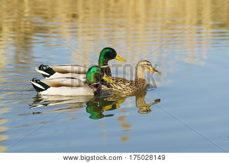 Two Drake (male) swimming on the lake for a duck (female) Mallard duck (lat. Anas platyrhynchos) is a bird of the duck family (Anatidae) detachment of waterfowl (Anseriformes). The best known and most common wild duck