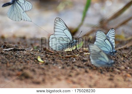 Aporia crataegi, Black Veined White butterfly in springtime