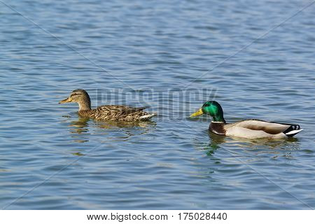 A duck and a Drake (male and female) of Mallard (lat. Anas platyrhynchos) is a bird of the duck family (Anatidae) detachment of waterfowl (Anseriformes). The best known and most common wild duck