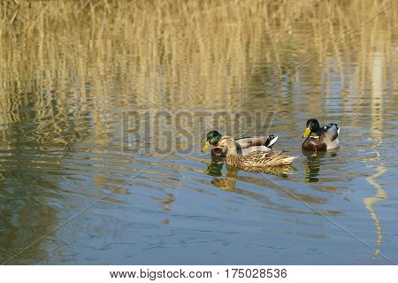 Two Drake and a duck males and female mallards (lat. Anas platyrhynchos) birds of the duck family (Anatidae) detachment of waterfowl (Anseriformes) - in the mating season. The best known and most common wild duck