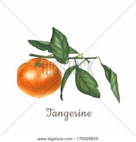 Botanical watercolor illustration of orange tangerine mandarin isolated on white background.