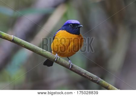 Rufous-bellied Niltava Niltava sundara Male Cute Birds of Thailand