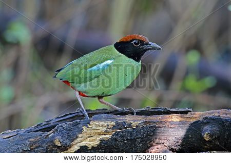 Hooded Pitta Pitta sordida Birds of Thailand