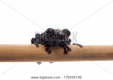 Vietnam mossy frogling, Theloderma vienamense, rare spieces of frog, isolated on white background