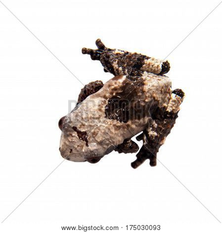 Asian bird poop frog, Theloderma albopunctata, isolated on white