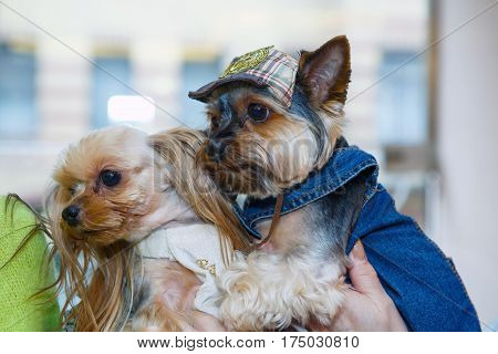 Funny little lapdog dressed in clothes that they love each other. Breed the Yorkshire terjer - dogs for the rich lady. Clothing for Pets is lifestyle. Fashionable bride and groom - pet animals.