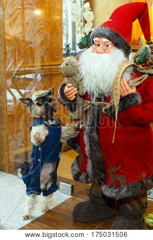 Funny dog dressed in a denim suit and hat posing with Santa Claus. Christmas decorations and breed the Yorkshire terjer - dogs for the rich lady living toy. Clothing for Pets is a lifestyle.