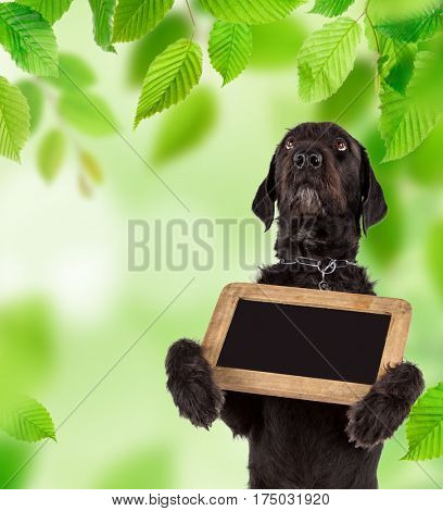 Beautiful mutt black dog Amy holding small black table, spring theme.