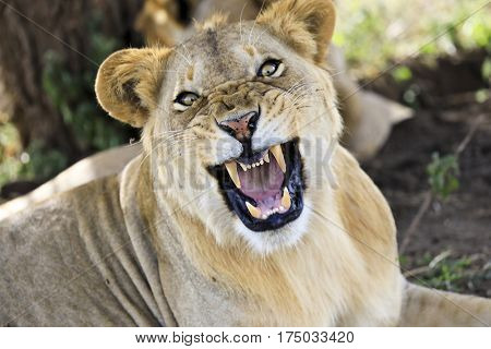 An angry lioness growls in Tanzania