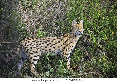 The serval cat lives in the greasslands and marshes of Tanzania