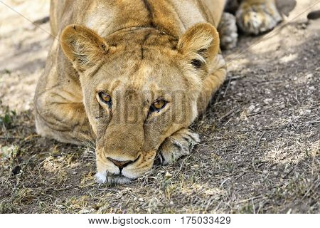 Head shot of a resting lioness in Tanzania