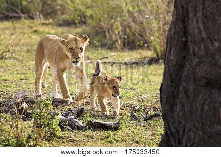 A lioness and her cat walk and hunt.
