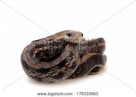 Beauty Rat Snake, Orthriophis taeniurus, isolated on white background