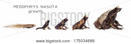 The long-nosed horned frog, Megophrys nasuta, growth isolated on white background