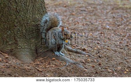 Grey Squirrel Feeding On Chestnuts