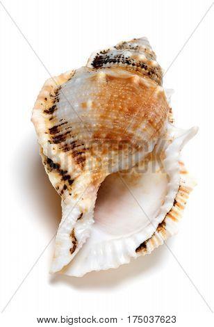 Shell Of Tutufa Bubo (frog Snail)