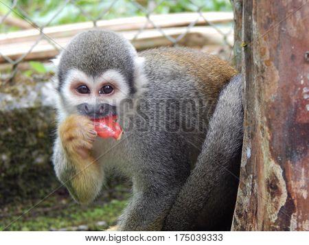 South american small monkey at amazonon zoo at Puyo Ecuador South America