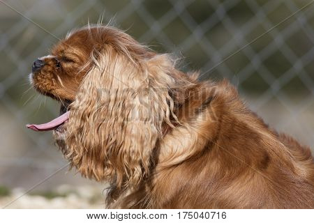 king cavalier spaniel dog yawns in the street