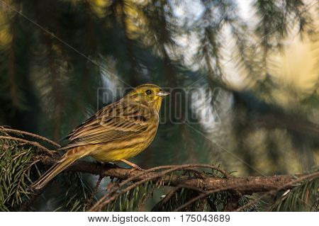 Yellowhammer (Emberiza citrinella) pearched on a on a tree. Autumn time.