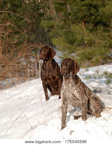 hunting dog, German Short haired Pointer, dog in forest