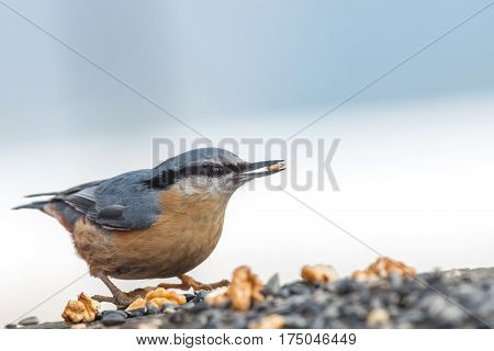 The Eurasian nuthatch or wood nuthatch (Sitta europaea) feeding on the stump in a winter time.