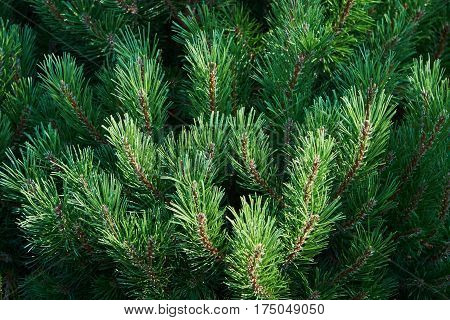 Branches of pine (Pinus L.) with green needles. Background