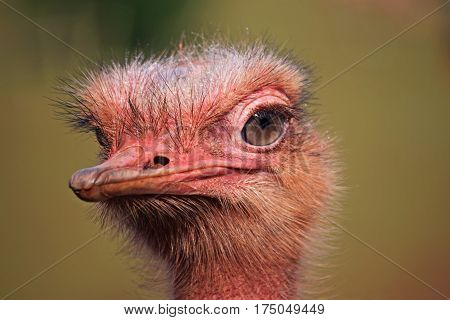 Close up of the head of an ostrich