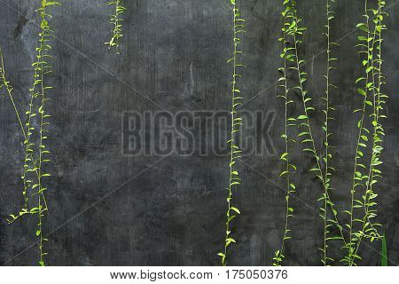 Hanging green lianas on the background of the textured gray wall. Closeup. Horizontal.