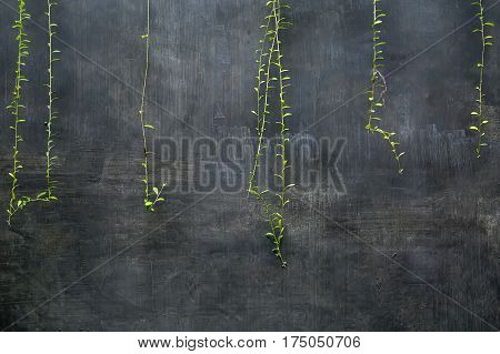 Few hanging green lianas on the background of the textured gray wall. Closeup. Horizontal.
