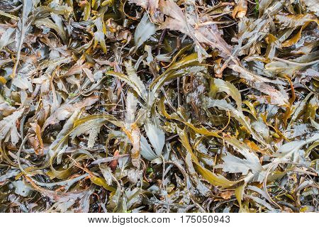 Overhead and closeup shot of seaweed in the United Kingdom.
