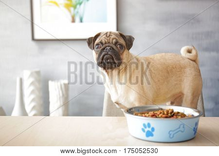 Sad pug dog with food bowl ready to eat, standing on chair at dining table in kitchen