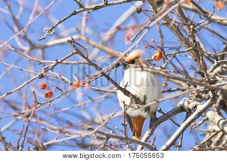 Portrait of Bohemian waxwing bird (Bombycilla garrulus) sitting on a wild apple tree, Northern Russia
