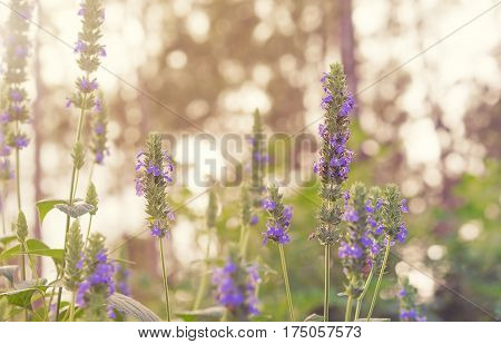 Purple flower blossoms and green foliage of Chia healthy organic herb Salvia