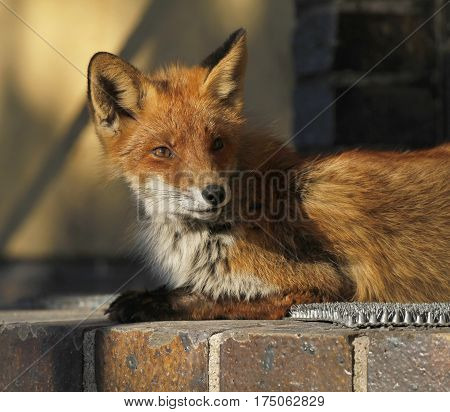 Young urban fox sunning on the doorstep of a house in Turku Finland.