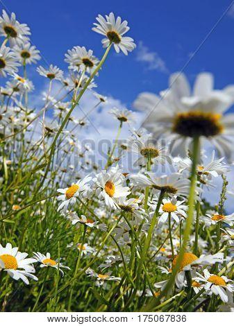 Daisy and a blue sky