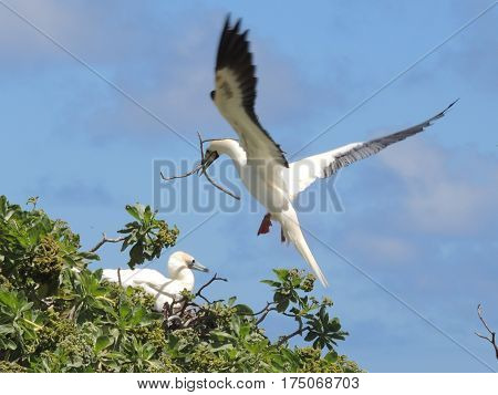 Two Red Footed Booby Birds building a nest