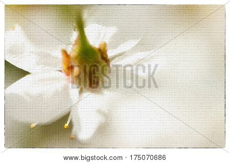 Delicate cherry flowers on the reverse side, natural background. Concept of beautiful nature spring . Seasons, gardening, admiring flowers