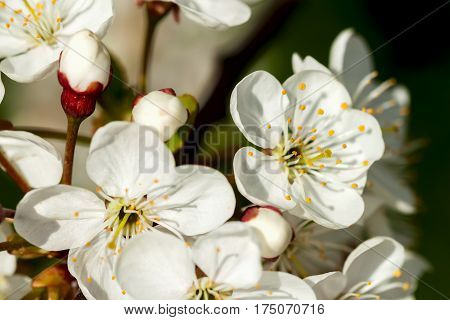 White sweet cherry blooming close-up, natural background. Concept of beautiful nature spring background. Seasons, gardening, admiring flowers