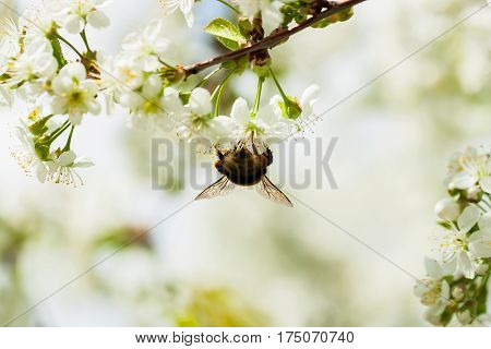 Branches of a white flowering cherry against the blue sky. Bumblebee on flower.