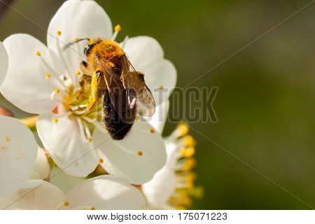 Closeup bee gathering nectar from spring cherry blossoms. Concept of beautiful nature spring background. Seasons, gardening, admiring flowers