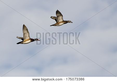 Pair of Wood Ducks Flying on a Light Background
