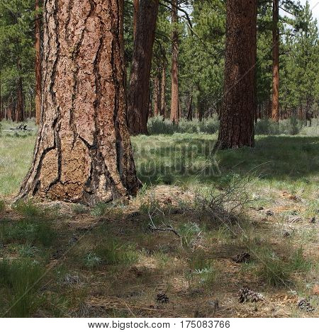 Huge ponderosa pine trees among wild grasses and pine cones on a spring day near Black Butte in Central Oregon.