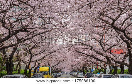 Cherry Blossom at Namcheon Street, Busan, South Korea