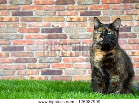 Tortoiseshell Tortie cat laying on grass by brick wall. Tortoiseshell cats with the tabby pattern as one of their colors are sometimes referred to as a torbie.