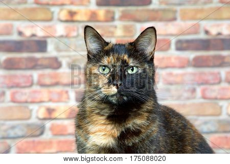 Portrait of a Tortoiseshell Tortie cat by brick wall looking directly at viewer. Tortoiseshell cats with the tabby pattern as one of their colors are sometimes referred to as a torbie.
