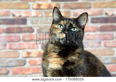 Portrait of a Tortoiseshell Tortie cat by brick wall looking above viewer. Tortoiseshell cats with the tabby pattern as one of their colors are sometimes referred to as a torbie.