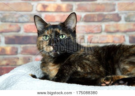 Tortoiseshell Tortie cat laying on sheepskin bed by brick wall looking to viewers left. Tortoiseshell cats with the tabby pattern as one of their colors are sometimes referred to as a torbie.
